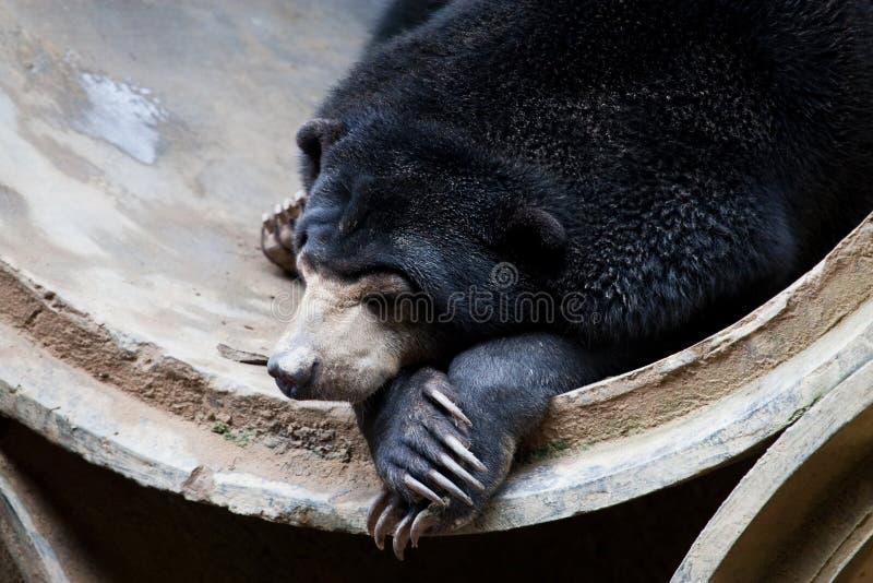 солнце малайзийца медведя стоковые изображения