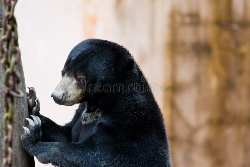солнце малайзийца медведя стоковые фотографии rf
