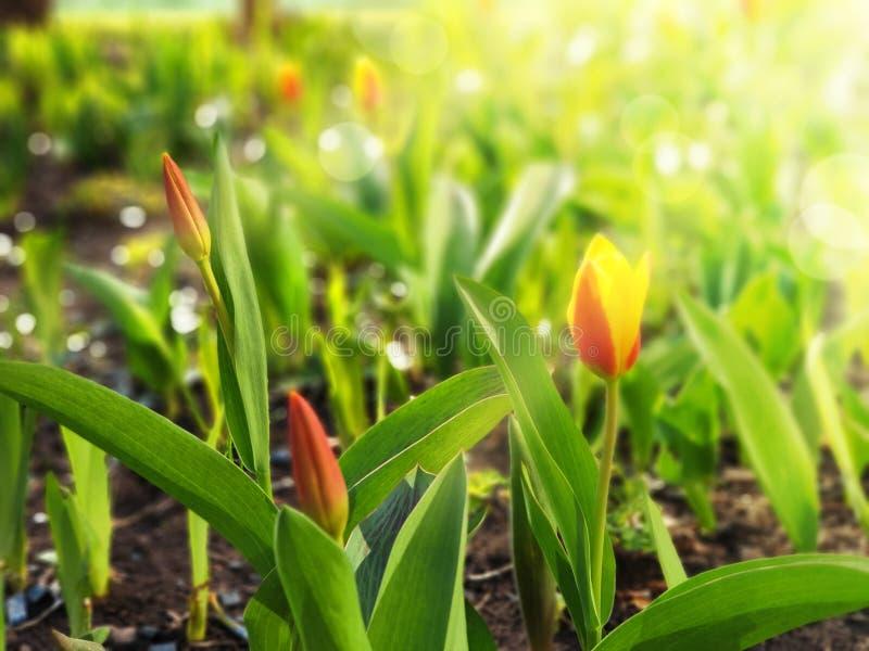 Солнце облитое тюльпанами весной, яркий солнечный свет, лучи, слепимость, макрос, запачканная предпосылка для вашего текста Фотог стоковые изображения rf