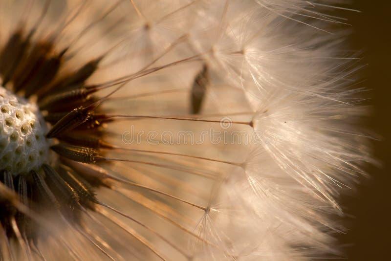 солнце одуванчика освещенное вечером стоковое изображение