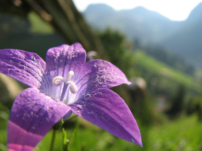 солнце пурпура цветка стоковое фото