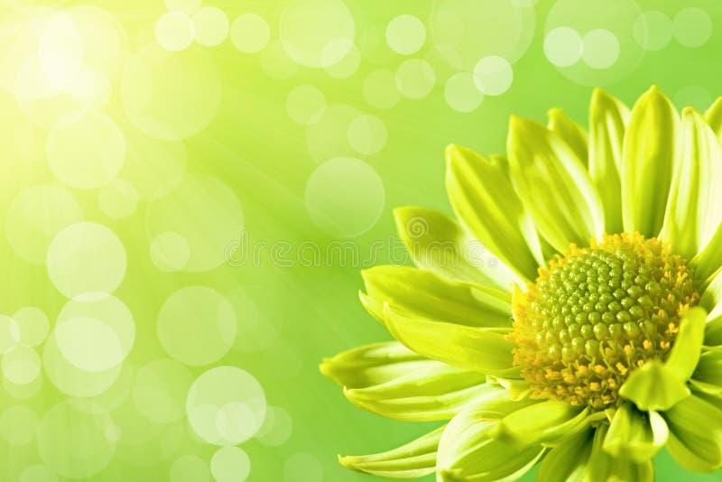 солнце света цветка маргаритки вниз стоковое фото rf