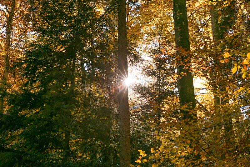 Солнце светя через листву лесных деревьев в осени стоковые изображения rf