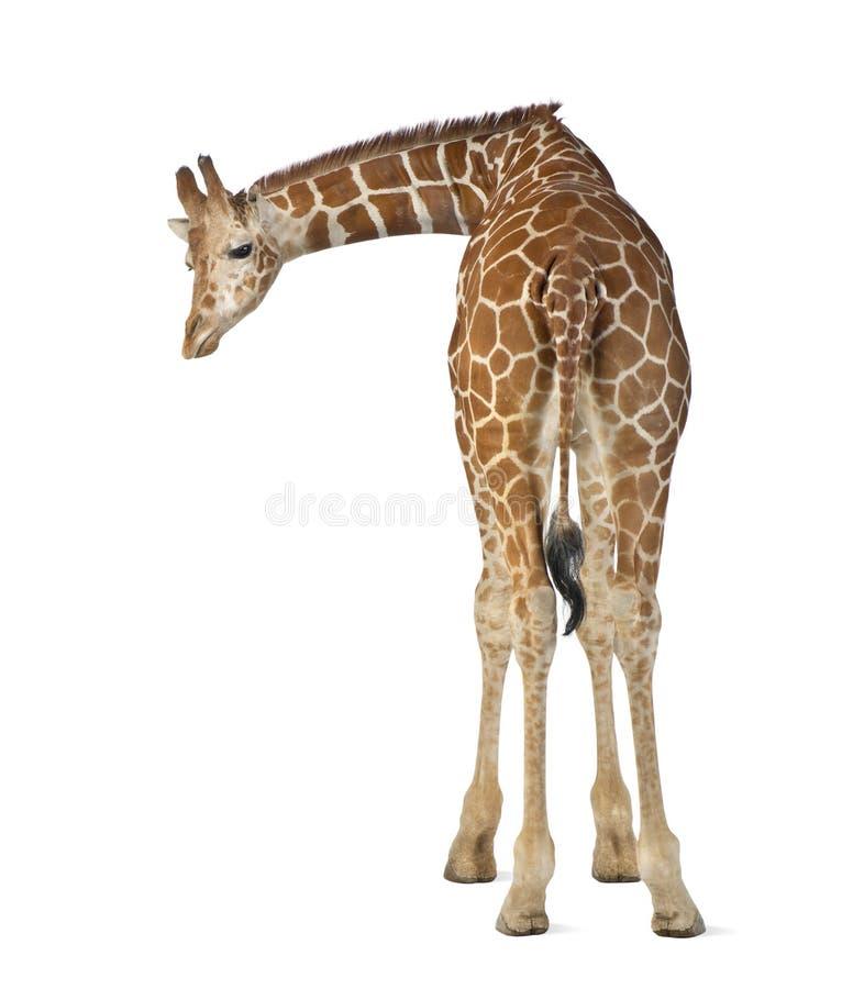 Сомалийский Giraffe стоковые фотографии rf