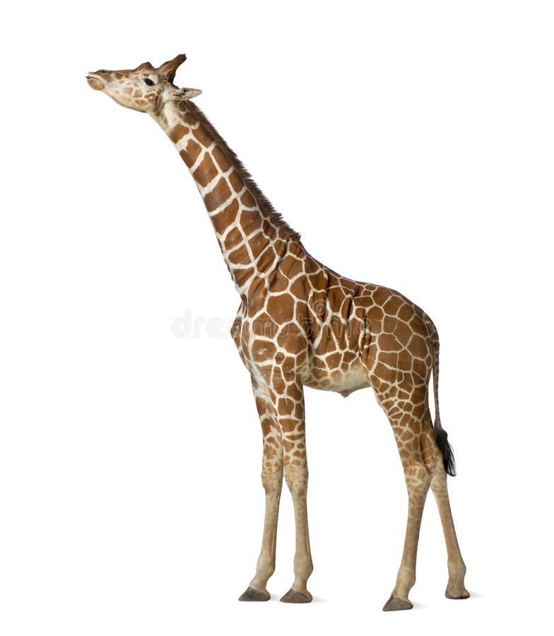 Сомалийский Giraffe стоковые изображения rf