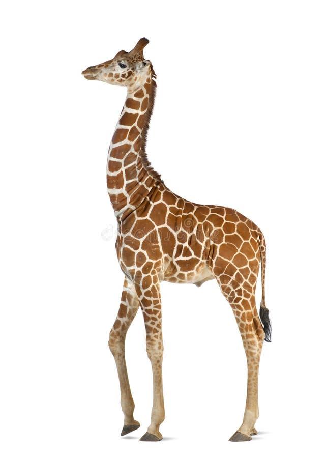 Сомалийский Giraffe стоковое фото rf