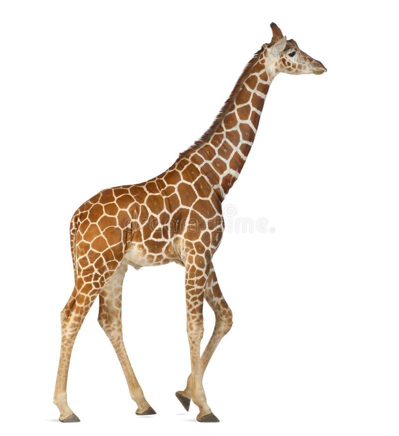 Сомалийский Giraffe стоковые изображения
