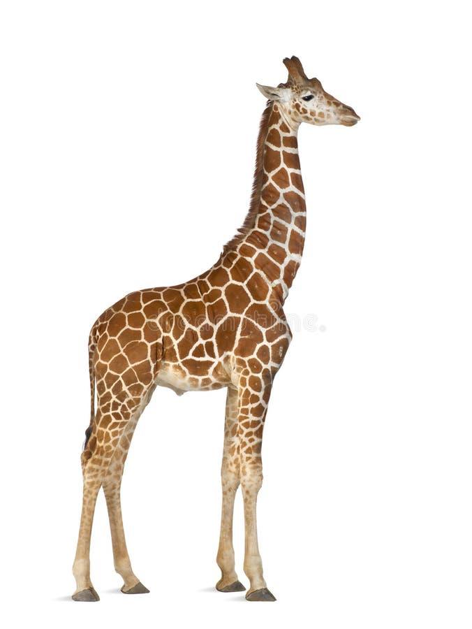 Сомалийский Giraffe стоковое фото