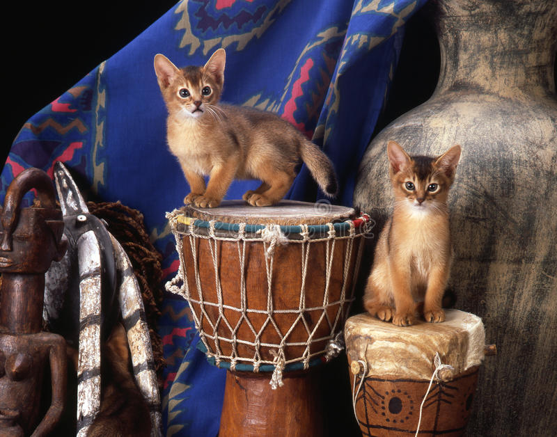 Сомалийские котята стоковая фотография