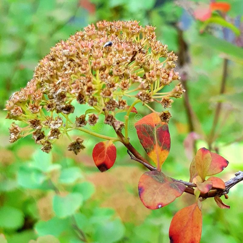 Сом Blid ягоды осени стоковая фотография