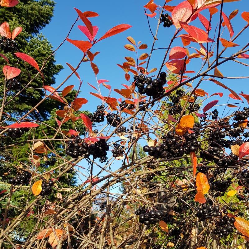 Сом Blid ягоды осени стоковые изображения rf