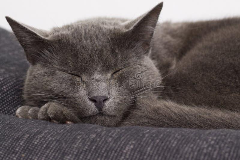 сонное кота серое стоковые изображения rf