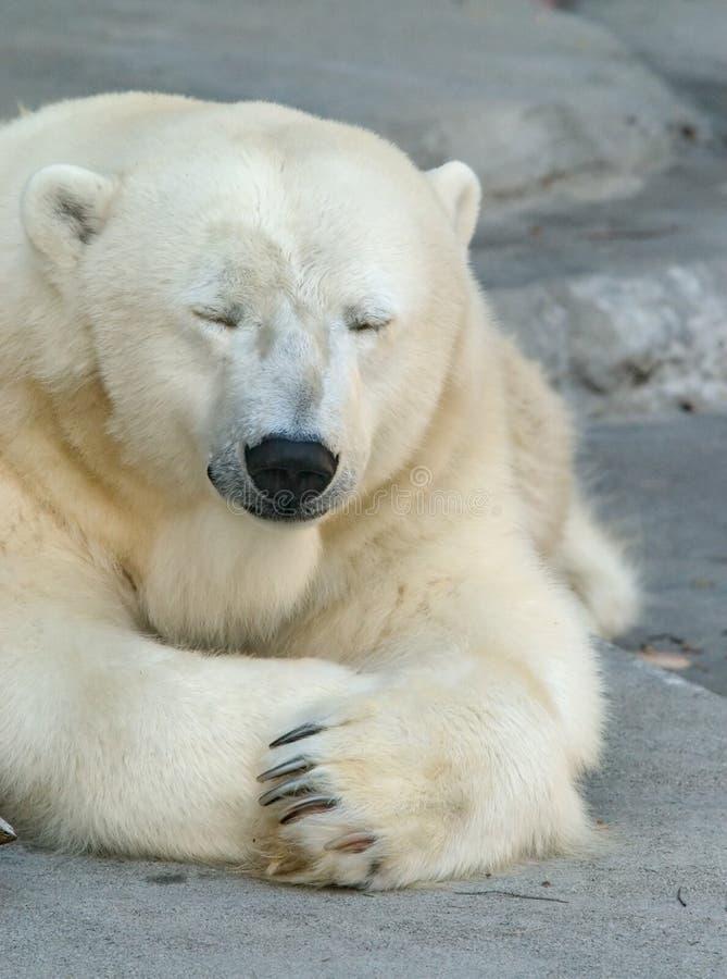сонное медведя приполюсное стоковая фотография rf