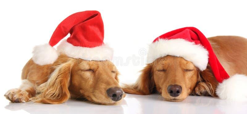 Сонные собаки рождества Санты стоковое фото rf