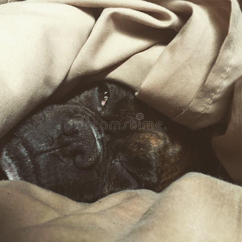 Сонный боксер стоковое фото