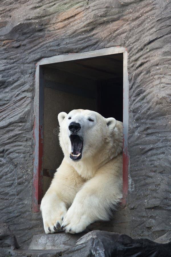 Сонный полярный медведь стоковое фото