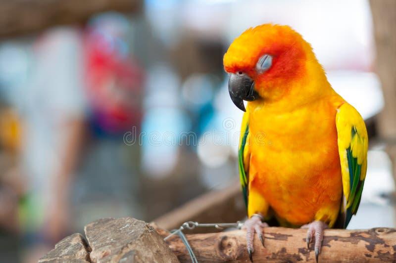 Сонный попугай на ветви стоковые фото