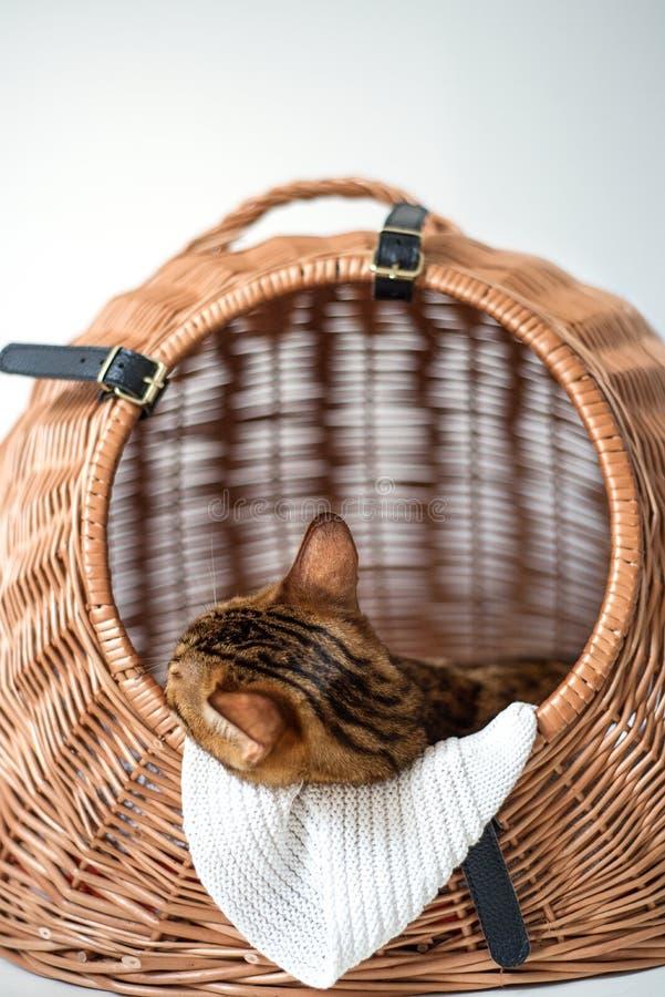 Сон кота Бенгалии в коробке перемещения стоковые фотографии rf