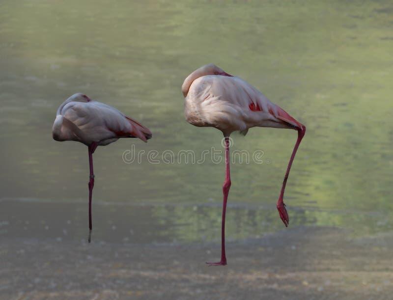 Сон фламинго в дуэте на краю озера стоковое фото