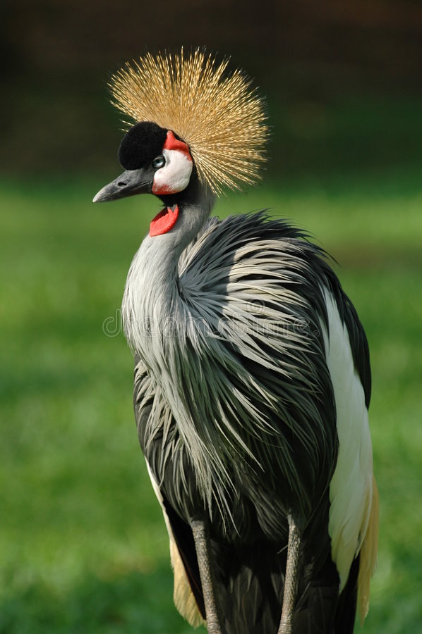 соотечественник Уганда птицы стоковые фото