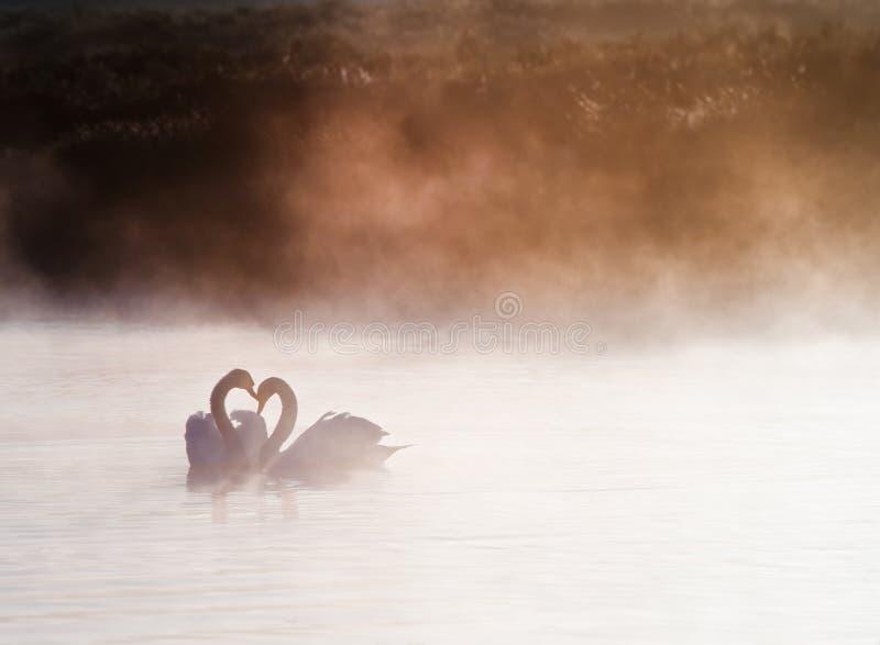 Сопрягаемые пары лебедей на туманнейшем озере стоковые изображения