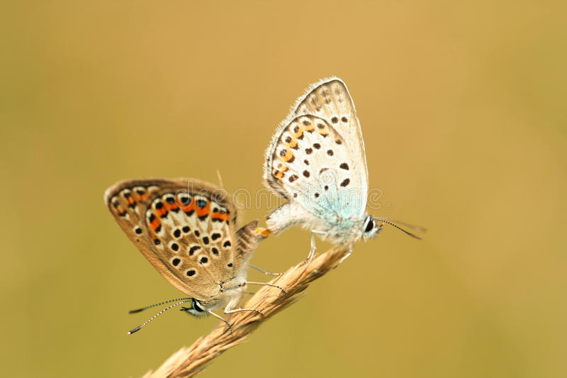 сопрягать бабочки стоковые фото