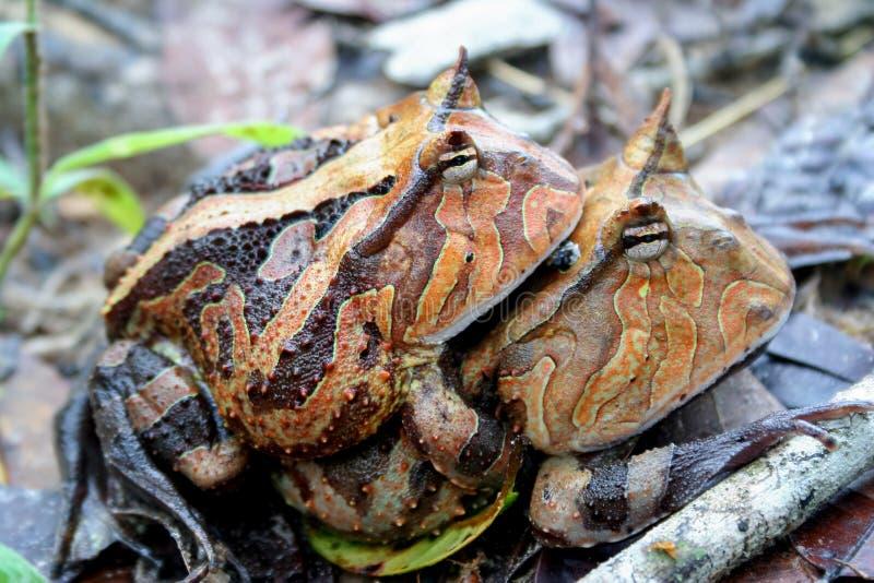 Сопрягать лягушек Суринама horned стоковая фотография rf