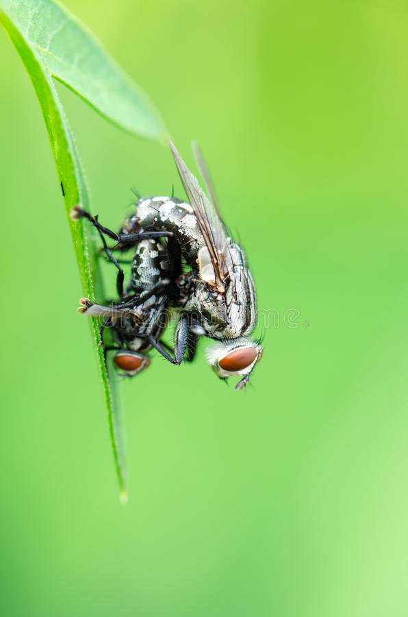 Download Сопрягать мухы плоти стоковое фото. изображение насчитывающей жизнь - 40580406