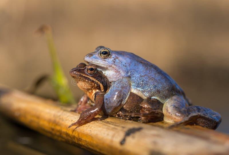 Сопрягать причаливает arvalis Раны лягушки в чехии стоковое изображение rf