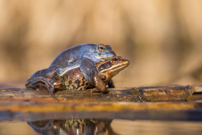 Сопрягать причаливает arvalis Раны лягушки в чехии стоковая фотография
