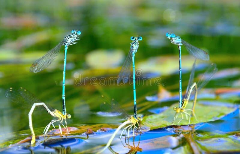 6 сопрягать dragonflies стоковые изображения rf