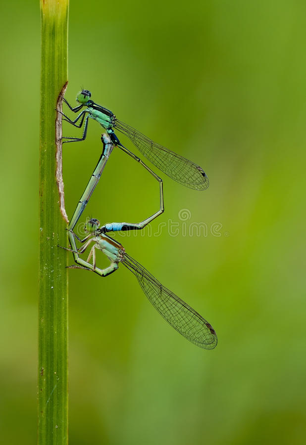 Сопрягать Dragonflies стоковые фото