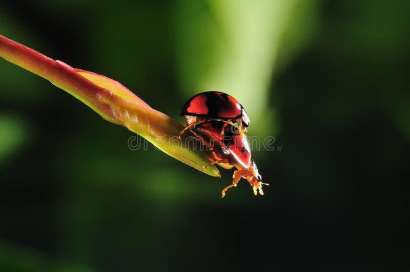 Сопрягать ladybugs стоковая фотография rf