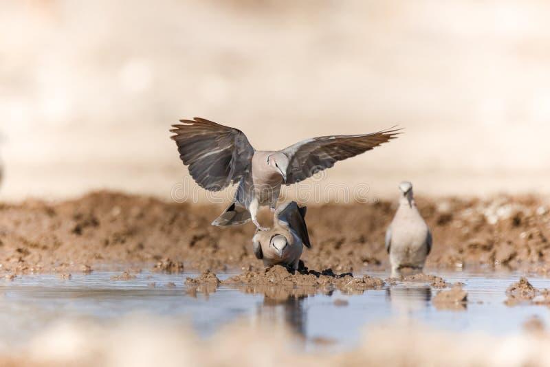 Сопрягая голуби стоковое изображение