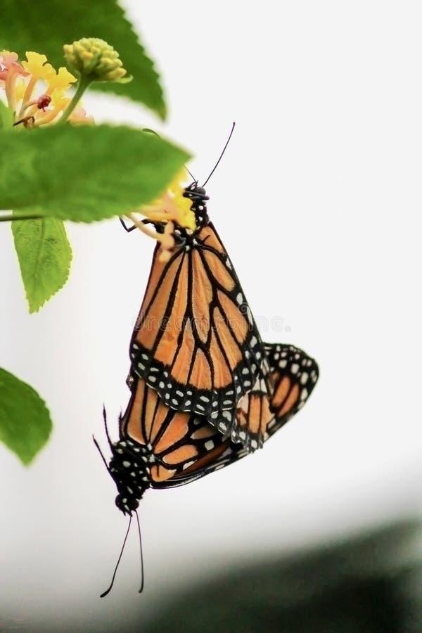 Сопрягая монарх стоковые изображения rf