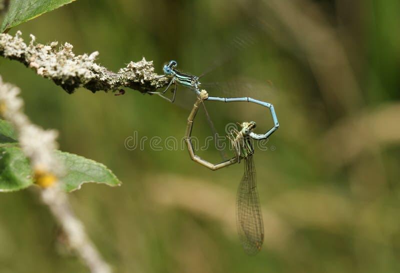 Сопрягая пара милой Бело-шагающей красотки, pennipes Platycnemis, садясь на насест на хворостине предусматриванной в лишайнике стоковое фото
