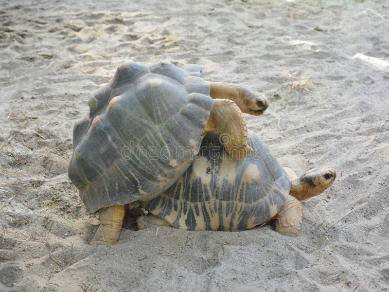 Черепаха секс