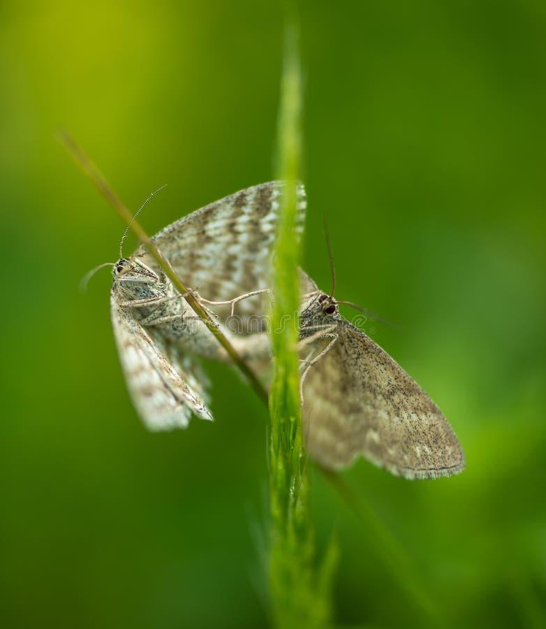 Сопрягая сумеречница бабочки стоковые фотографии rf