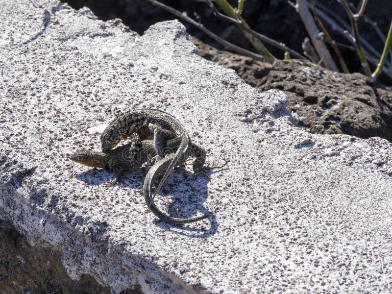 Сопрягая ящерица лавы Галапагос, albemarlensis Microlophus, эндемична к острову Галапагос Santa Cruz, Галапагос, эквадор стоковые фото