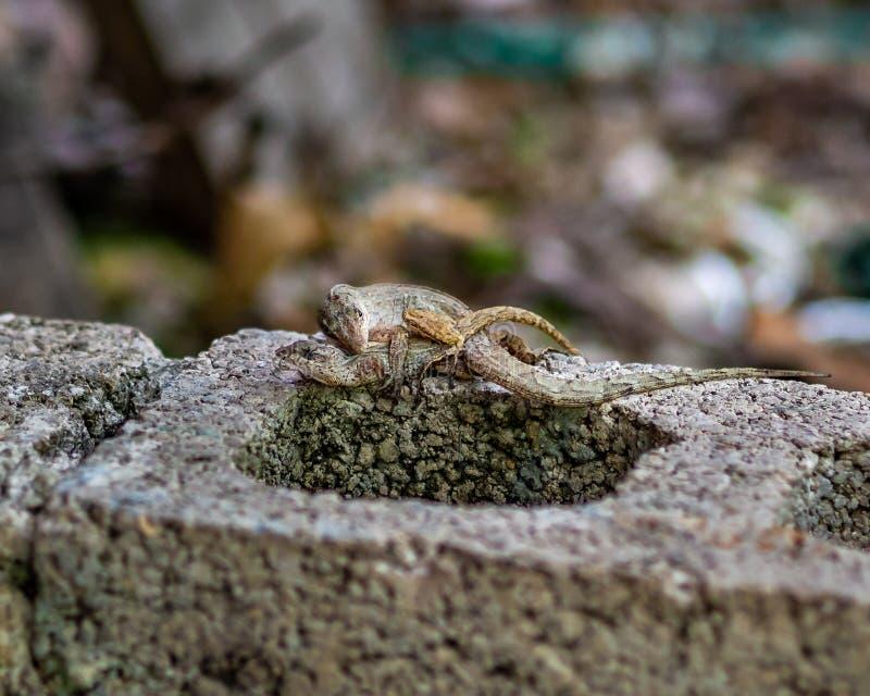 Сопрягая ящерицы anole на блоке цемента стоковые фотографии rf
