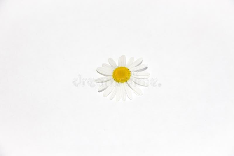 Сорванный цветок маргаритки поля лежит на белой предпосылке стоковые изображения