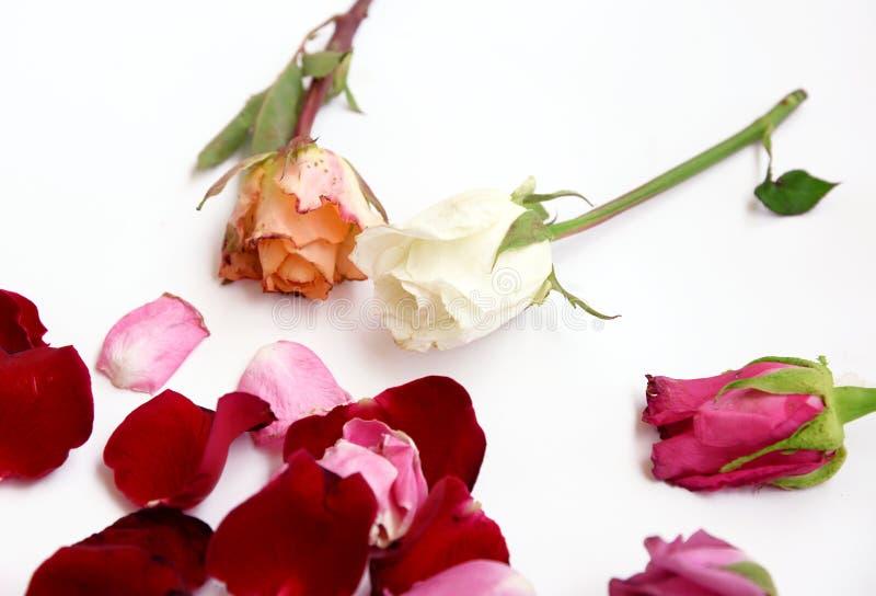 Сортированные розы и лепестки на белой предпосылке стоковое фото
