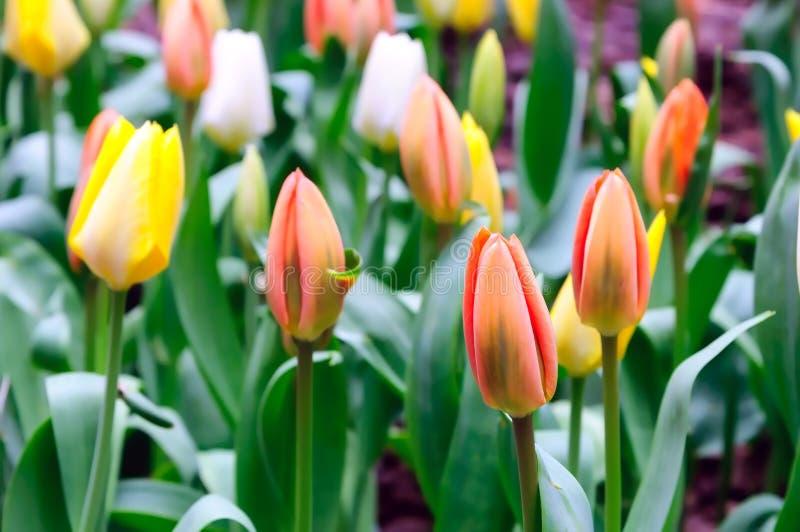 Download Сортированные тюльпаны стоковое фото. изображение насчитывающей небо - 40580316