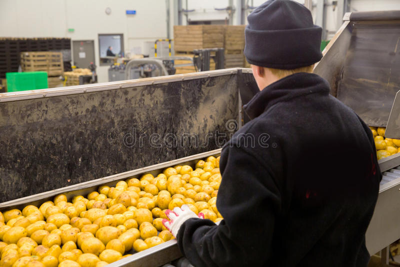 Сортировать завод картошки стоковые изображения