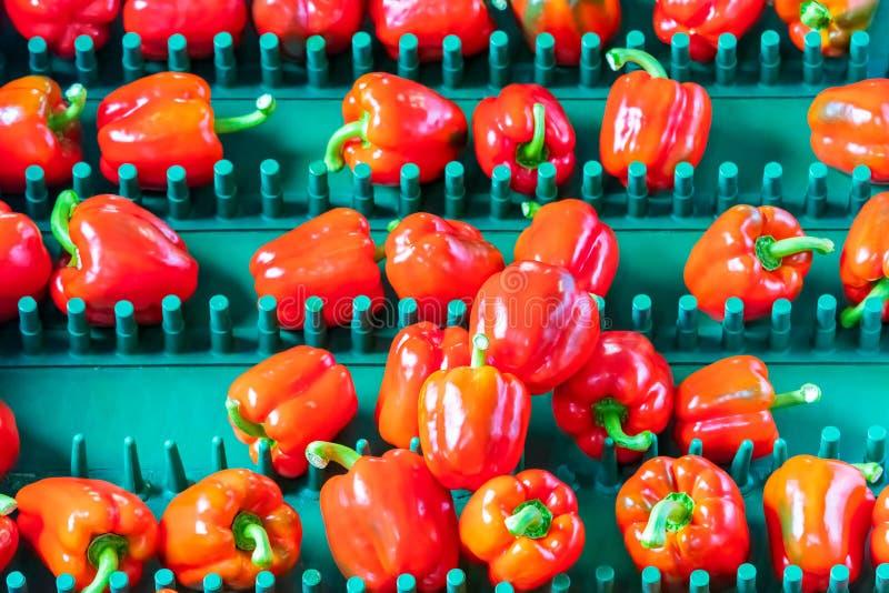Сортировать красных болгарских перцев на конвейерной ленте стоковое фото