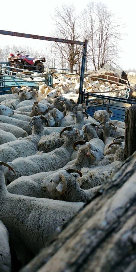 Сортировать овец стоковое фото rf
