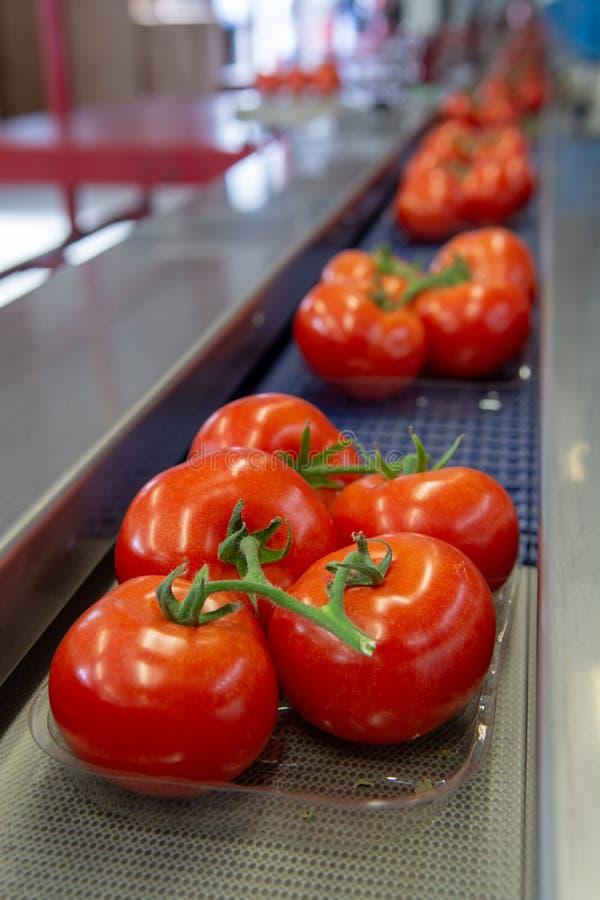 Сортирующ и линия упаковки свежих зрелых красных томатов на лозе внутри стоковое фото rf