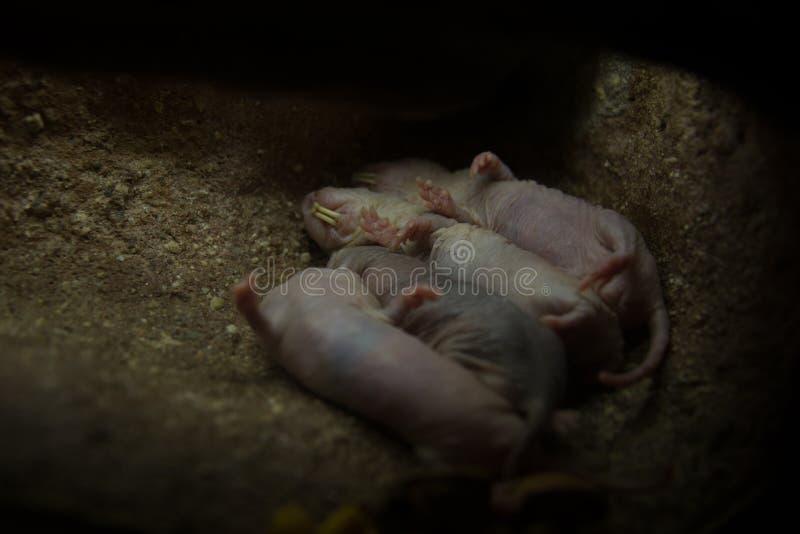 Сор африканской крысы моли стоковое фото
