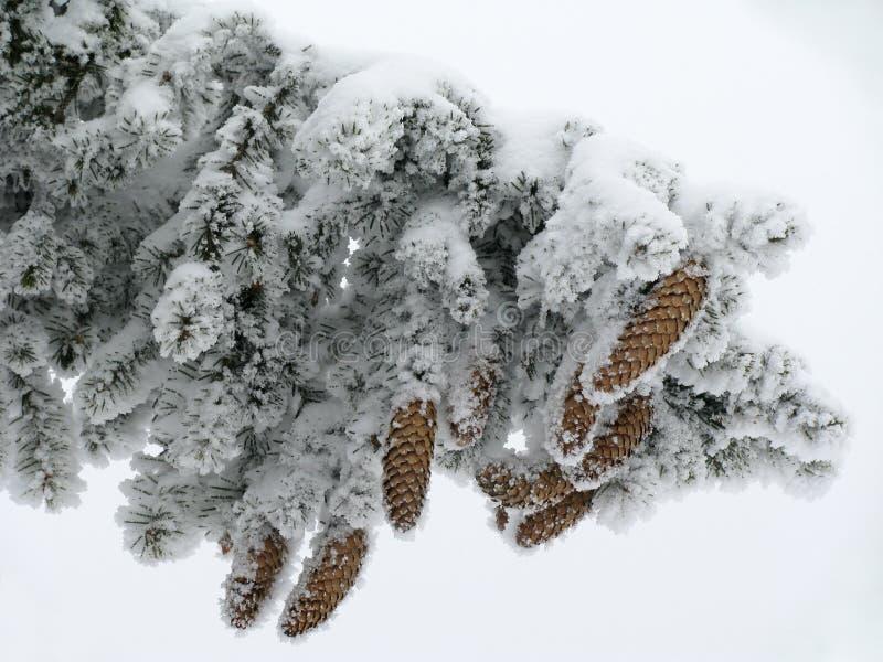 сосенка ветви стоковое фото rf