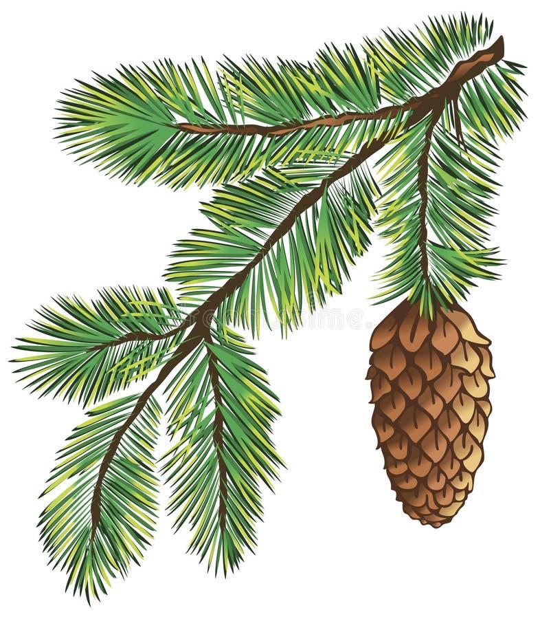 сосенка ветви бесплатная иллюстрация